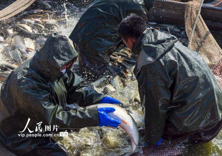 江苏淮安:家鱼市场俏 渔民捕捞忙