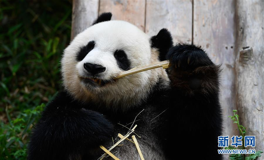 海口:大熊猫迎游人