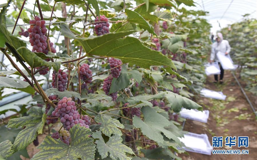 吉林磐石:大棚葡萄喜获丰收